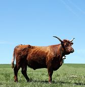 Mahogany Red Salers Cow Portrait