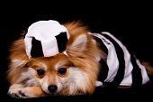 Pet Pomeranian Prisoner