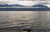 Swan On Lac Leman (geneva Lake)