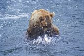 Grizzly Bear With Catch