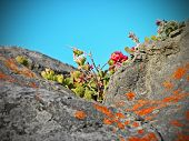 picture of fynbos  - A clump of fynbos flowers in a rock cleft on the Eastern Cape coast of South Africa - JPG