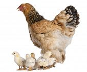 picture of brahma  - Brown Brahma Hen and her chicks in front of a white background - JPG