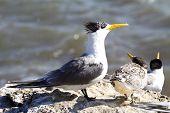 Sea Gull in Australia