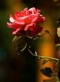 5538 Rose