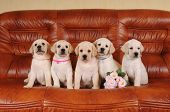 Five Adorable Labrador Puppies