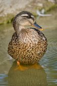 A mallard stands in the water