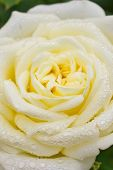 Close-up of yellow rose with water droplets