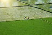 Green Rice Fields Or Terraces In The Village Of Hampi. Palm Trees, Sun, Rice Fields, Large Stones. T poster