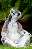 Beautiful Specimen Of Lemur Of Ring-shaped Tail Taking Up A Curious Pose poster