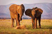 African Bush Elephant - Loxodonta Africana Pair Of Two Elephants On The Zambezi Riverside, Mana Pool poster