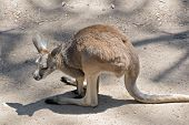 The Joey Red Kangaroo Is Resting On A Sandy Area poster