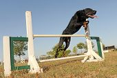 Beauceron In Agility