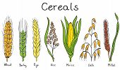 picture of millet  - Cereals hand - JPG