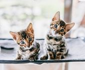 Two young Bengal cats portrait. Cute kittens relax at home poster