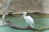 A pelican .