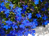 pic of lobelia  - A shot of a Lobelia Erinus flower - JPG