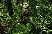 Hawk At Zoo