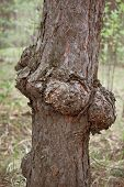 Outgrowth On The Trunk Of Pine