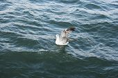 Seagull On Lake Sevan