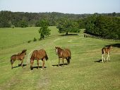 Brumbies At Mountainthyme Property.