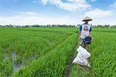 Agricultor de arroz en Bali