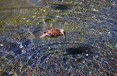Duck In Pond, Kapiolani Park, Hawaii