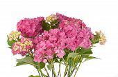 Pink/Yellow hydrangea flowers (flowers only)