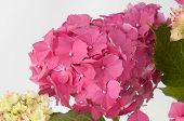 Pink hydrangea flowers (closeup view)