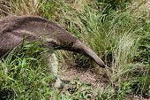 picture of ant-eater  - an ant - JPG