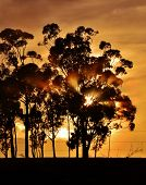 Blue Gum Trees