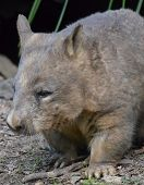 picture of wombat  - Brown and Grey Native Australian Wombat walking - JPG