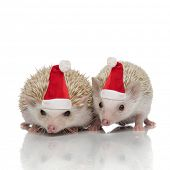 couple of two african hedgehogs standing side by side wearing santa claus hats , isolated on white b poster