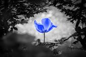 Blue Tulip Soul In Black White For Peace Heal Hope. The Flower Is Symbol For Power Of Life And Mind  poster