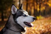 Portrait Of A Siberian Husky Dog Outdoors.copy Space.wallpaper. poster