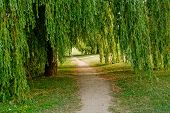 stock photo of weeping willow tree  - A dirt trail leads beneath a large willow tree - JPG