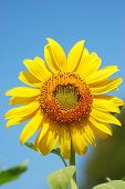 Sunflower (helianthus Annuus) Blue Sky