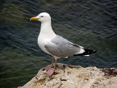 Seagull Atop rock
