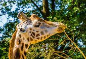 Rothschilds Giraffe Eating The Leaves From A Tree Branch In Closeup, Endangered Animal Specie From  poster