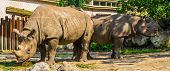 Male And Female Black Rhinoceros Couple Together, Critically Endangered Animal Specie From Africa poster