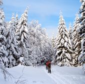 cross country skiing tourist in snow cowered wood