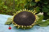 Sunflower And  Cankerberry