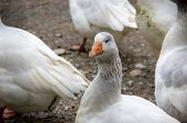 View Of A Domestic Goose. She Is A Pet And Is Kept As A Domestic And Farm Animal poster