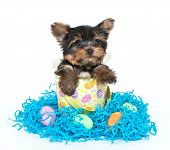 image of yorkie  - Little Yorkie puppy sitting in an Easter basket with Easter eggs and Easter grass around him - JPG