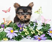 Yorkie Puppy With Butterflies