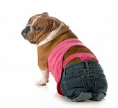 female dog wearing pink thong underwear isolated on white background - english bulldog