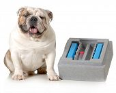 dog breeding - english bulldog sitting beside container for shipping chilled semen isolated on white