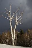Birch Tree In Sun Against Stormy Sky
