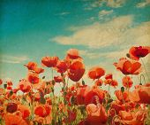 Vintage poppy field against blue sky. Paper texture.