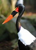 pic of sub-saharan  - The saddle billed stork is scientifically known as Ephippiorhynchus senegalensis  - JPG