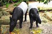 View Of A Tapir